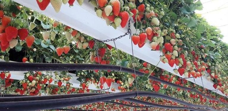 Heated greenhouses and table-top production has improved efficiency and extended the growing season